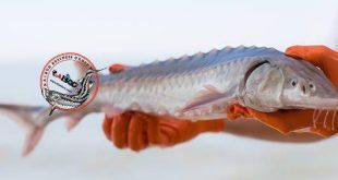 قیمت بچه ماهی خاویار