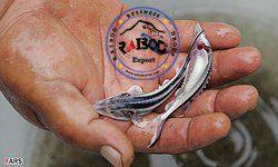 فروش بچه ماهی