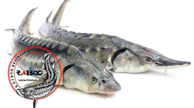 پرورش ماهیان خاویاری