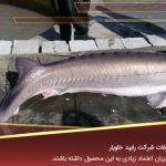 خرید ماهی بلوگا در بازار ماهی