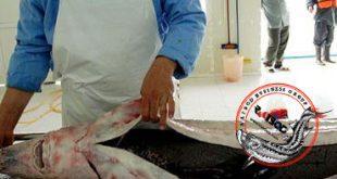 نمایندگی فروش ماهی خاویار