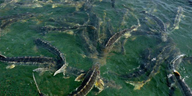 ماهی خاویاری اوزون برون مازندران