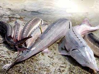 صادرات ماهی خاویار ایران
