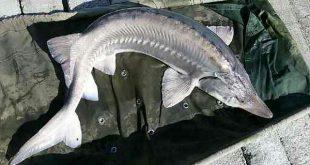قیمت ماهی خاویار درجه یک پرورشی اصل
