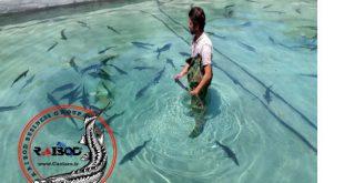 خرید بچه ماهی خاویاری