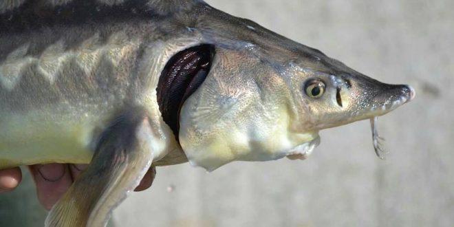 فیل ماهی خاویاری