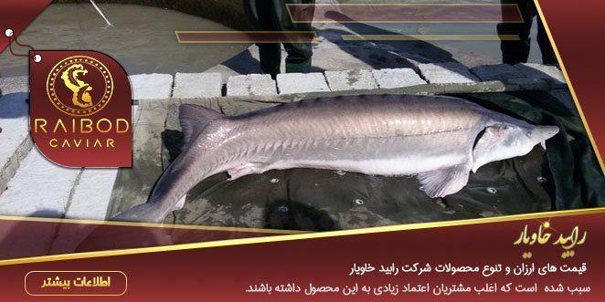 خرید ماهی خاویار بلوگا