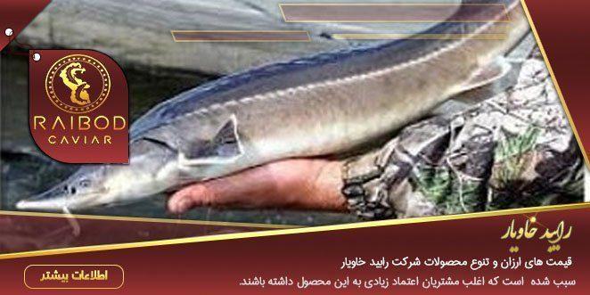 عرضه ماهی خاویار دریایی