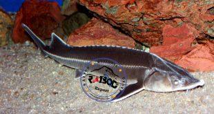 تاس ماهی خاویاری
