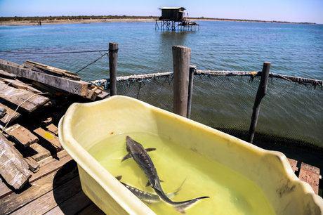 فروش ماهی خاویاری