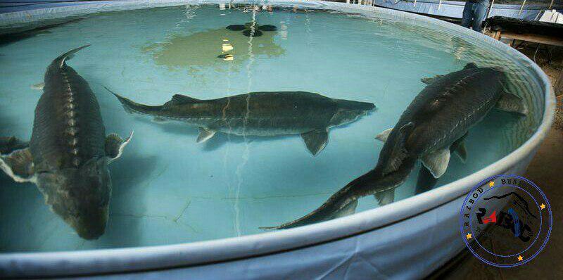 قیمت ماهی زنده خاویاری
