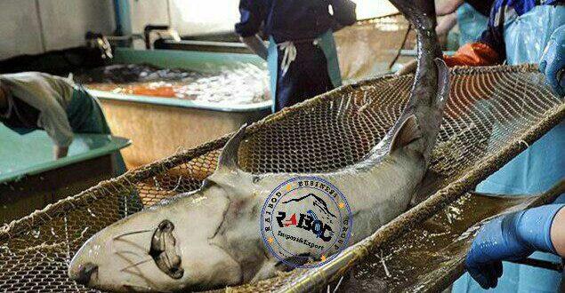 خرید ماهیان خاویاری
