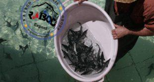 فروش بچه ماهی خاویاری