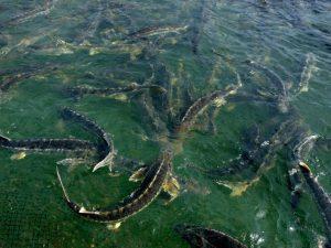 انواع ماهی خاویار