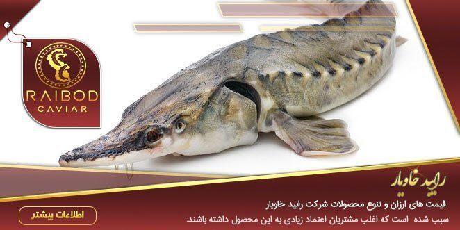 عرضه بهترین ماهی خاویار تازه