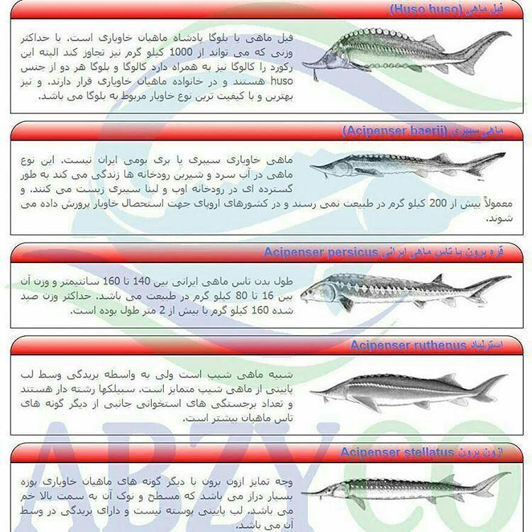 قیمت ماهی خاویار زنده