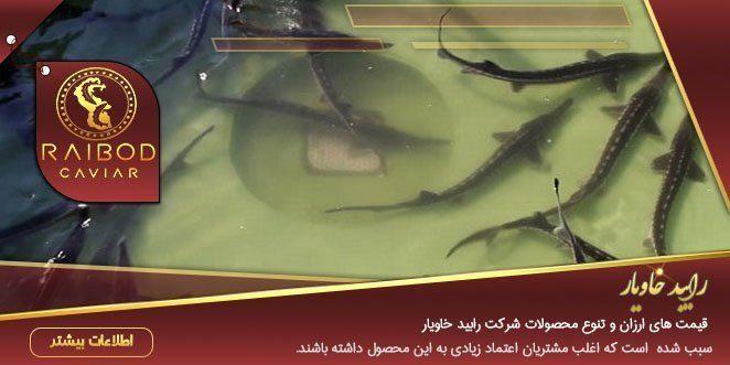 عرضه انواع بچه ماهی خاویاری ایرانی