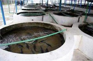بچه ماهی خاویاری سیبری