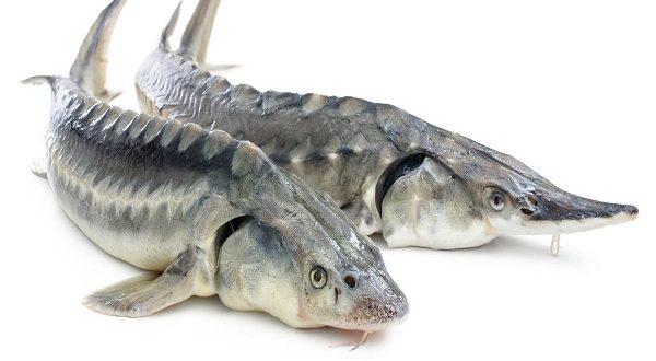 ماهی خاویاری پرورشی