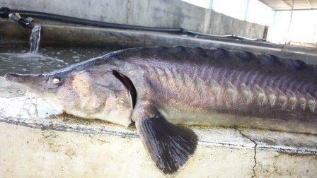 غذای ماهی خاویاری