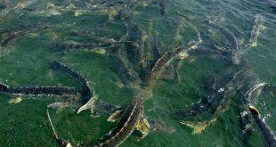 پرورش ماهی خاویاری در استخر خاکی