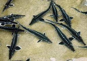 بچه ماهی خاویار اوزون برون و فیل ماهیقیمت بچه ماهی خاویار اوزون برون و فیل ماهی
