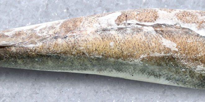 گوشت ماهی خاویار در ایران