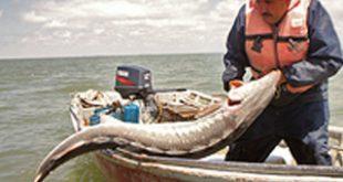زمان صید ماهی خاویار دریای خزر