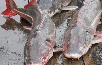 گوشت ماهی خاویار و اوزون برون