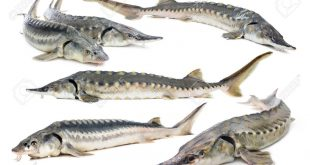 ماهی خاویار ایران