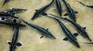 پرورش ماهی خاویار ازون برون