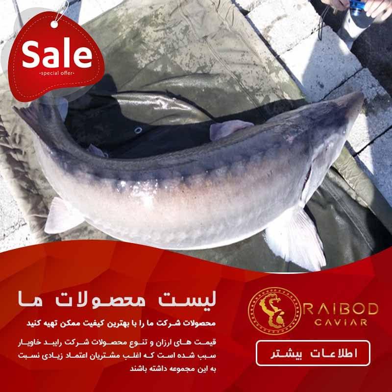 قیمت نهایی ماهی خاویار بلوگا