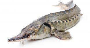 قیمت ماهی خاویاری