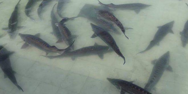 خرید ماهی اوزونبرون بصورت عمده