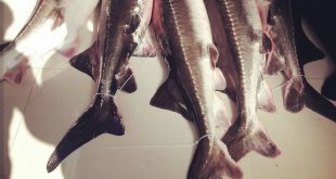 ماهی های خاویاری دریای خزر