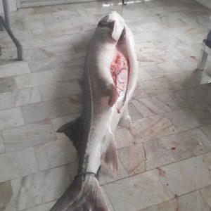 ماهیان خاویاری پرورشی
