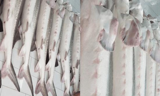 خرید فیل ماهی خاویاری ۳۵ کیلویی