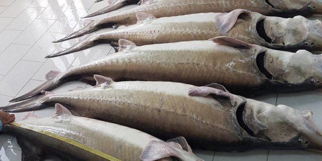 فروش انواع فیل ماهی خزر