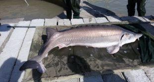 قیمت فیل ماهی زنده در مزرعه ماهی خاویاری