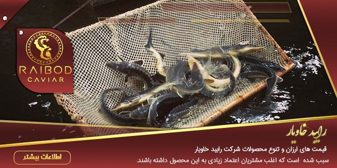 آشنایی با پخش انواع خاویار سوروگا و ماهی اوزون برون