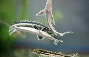 خاویار ماهی بلوگا