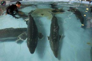 پرورش فیل ماهی خاویاری