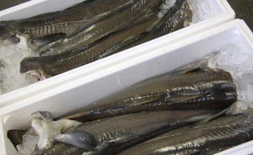 عرضه انواع ماهی اوزون برون بسته بندی