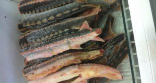 فروش ۲ تن گوشت فیل ماهی خاویاری
