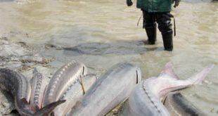 خرید ماهی اوزون برون خاویار