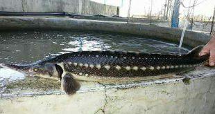 ماهی اوزون برون خاویار مرغوب