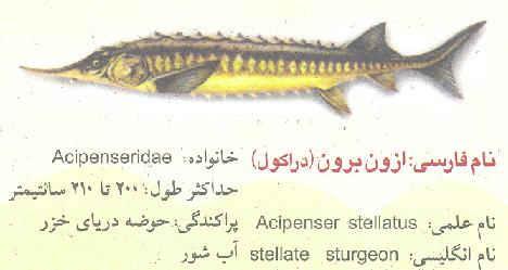 ماهی اوزون برون