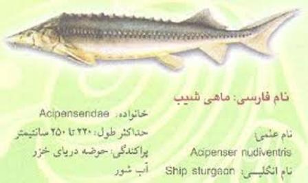 تاس ماهی
