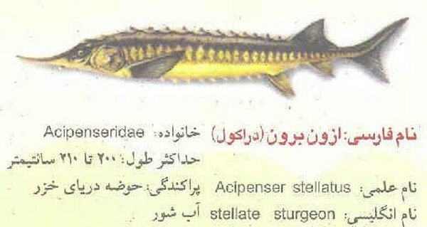 ماهی خاویار سوروگا