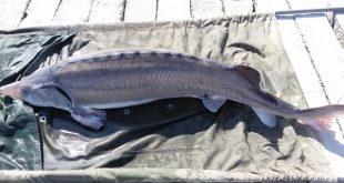 فروش ماهی بلوگا